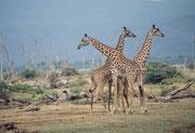 Von nahe betrachtet, zeigt sich, dass es sich im Lake Manyara NP um Massai-Giraffen (Giraffa camelopardis tippelskirchi) handelt.