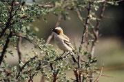 Ein Mahaliweber (Plocepasser mahali). Englisch wird er treffender white-browed sparrow-weaver genannt. Er ist ein kommunaler Brüter, der sein kugelförmiges Nest mit vertikalem Einflugloch auf den Bäumen anlegt. Er paart sich mit mehreren Weibchen.