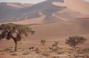 Endlich sahen wir auch diejenigen, auf die wir so sehr gehofft und gewartet hatten, die Spiessböcke (Oryx gazella) der Nabib. Sie sind mit einer Schulterhöhe von 1,20 m die grösste Art der Oryxantilopen und das Wappentier Namibias (Symbol für Zähigkeit).