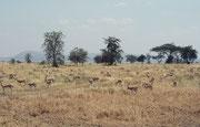 Als wir in der Serengeti waren, sahen wir tatsächlich praktisch keine Gnus und Zebras mehr, aber andere Arten, wie die Grant Gazelle und die hier abgebildete Thomson Gazelle (Eudorcas thomsonii) entdeckten wir nach wie vor in grossser Zahl.