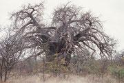 Bezeichnend für den Baobab ist sein kurzer, dicker Stamm. Die graubraune bis graue Rinde ist 5 bis 10 cm dick. Deshalb kann der Baum kleinere Buschbrände relativ unversehrt überstehen. In unbelaubtem Zustand erinnert die Astkrone an ein Wurzelsystem.