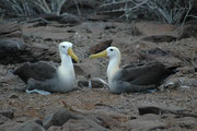 Galapagosalbatros-Paare bleiben ein Leben lang zusammen. Die Männchen kommen Ende März auf Espanola an, später die Weibchen und die Paare finden sich hier wieder in Kolonien zusammen.
