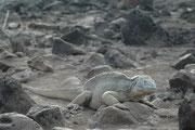 Den Drusenkopf (Conolophus subcristatus), auch Galapagos-Landleguan genannt, gibt es nur auf den Galapagos. Die bis zu 1,20 m langen, gelb oder braun gefärbten, schwer gebauten Echsen schauen eigentlich ganz freundlich in die Welt.