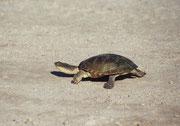 Eine Wasserschildkröte (!) auf der Strasse. Man ist erstaunt, welche Tiere zu beobachten sind, wenn es in der Etosha Salzpfanne Wasser hat und man fragt sich, wo sich diese Wasserbewohner aufhalten, wenn es wieder staubtrocken und brennend heiss ist.