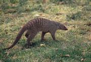 In der näheren Umgebung des Forts findet man die gesellig lebende Zebramanguste (Mungos mungo)