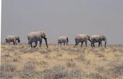 Auf der Fahrt gegen Okaukuejo sahen wir am Horizont von weitem fünf riesige Elefanten. Wir versuchten rasch in ihre Nähe zu gelangen und dann standen wir plötzlich mit unserem winzigen Auto vor diesen, eifrig nach Wurzeln suchenden, wahrhaftigen Giganten.