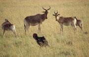 Aufmerksam beobachtet eine Gruppe Kongonis eine Familie Rotwangenhornraben (Bucorvus leadbeateri), die zur Familie der Nashornvögel gehören, bei der Suche nach ihrem Frühstück (Masai Mara)