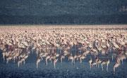 Man schätzt dass sich bisweilen zwischen 1 bis 2 Millionen Flamingos im Lake Nakuru NP aufhalten.
