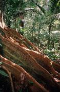 Baum mit Blattwurzeln im Regenwald in der Nähe von Mt. Saint Catherine