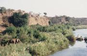 """Viele Leute meinen, dass ein Elefant """"einfach so"""" dutzende von km pro Tag zurücklege. Wenn aber einer, wie hier, neben einem Fluss fast im saftigen Gras versinkt, hat er überhaupt keine Veranlassung, sich weit von diesem """"Schlaraffenland"""" zu entfernen."""