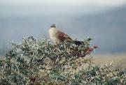 Das ist kein Greifvogel, sondern ein Weissbrauenkuckuck (Centropus suberciliosus). Dieser Kuckuck baut übrigens ein Nest und zieht seine Jungen selber gross. (Lake Manyara NP)
