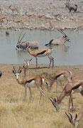 Erstaunlich war, dass die Südafrikanische Oryxantilope (Oryx gazelle), eigentlich eine Bewohnerin der Trockengebiete, die fast das ganze Jahr ohne Trinkwasser auskommen kann, sich. bei den Wasserstellen im Etosha NP geradezu als Wasserratten entpuppten…