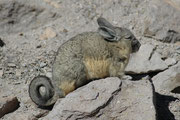 Das ist ein Viscacha (vermutlich Lagidium viscacia) ein Nagetier und ein naher Verwandter des Chinchillas, aber wesentlich grösser (Körperlänge 30-45cm, Gewicht bis zu 3 kg). Deutsch werden die Viscachas Hasenmäuse genannt (diese Art: Cuvier-Hasenmaus).