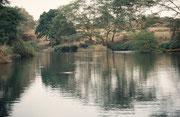 Mzima Springs, wo Flusspferde und Nilkrokodile friedlich zusammen leben. Eine  extreme Trockenheit im Jahre 2009 reduzierte die Zahl der Flusspferde von 70 (gezählt im Jahre 2003) zu bloss 5 Tieren (Tsavo West)