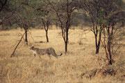 Dieser Gepard geht gegen Abend auf Pirsch. Effektiv haben wir, kurz nachdem wir in den Park hineingefahren waren, eine Gepardenjagd auf eine Thomsongazelle unmittelbar neben der Strasse von A – Z mitverfolgen können. Sehr eindrücklich !