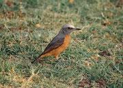 Hier dürfte es sich um einen Kurzzehenrötel (Monticola brevipes) handeln, der vom südlichen Angola über Namibia bis Südafrika vorkommt und als endemisch bezeichnet werden kann. Er sucht sein Futter (Wirbellose und Früchte) meist am Boden.