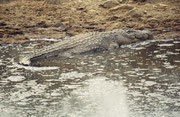 In diesem letzten grösseren Wasserloch lebten, zusammen mit den Flusspferden und ohne ihnen etwas zu tun, auch einige Nilkrokodile (Crocodylus niloticus). Hier ein besonders mächtiges Exemplar. Das Tier war etwa 5 Meter lang.