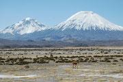 Eindrucksvolle Landschaft im Lauca NP mit den Vicunjas im Vordergrund und den beiden Vulkanriesen Pomerape (6286 m) und Parinacota (6342 m) im Hindergrund.