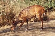 Bei diversen Camps des Krüger Parks verhielten sich Immer wieder einzelne – aber immer wieder andere – Tierarten besonders zutraulich zu den Campbesuchern. Im Camp Letaba waren es ein paar Buschböcke (Tragelaphus scriptus), sonst eine recht verborgene Art