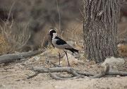 """Ein Waffenkiebitz (Vanellus armatus). Seinen Namen hat er wegen seines Alarmrufs, ein wiederholtes metallisches """"tink, tink, tink"""", das tönt wie wenn ein Schmied mit seinem Hammer auf den Amboss schlägt. Eigentlich ist er ein Bewohner von Feuchtgebieten."""