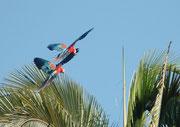 Die ankommenden Papageien (und zwar sowohl die grünen Papageien, wie die Aras) flogen nicht direkt in die Wand, sondern sie setzten sich vorerst in die Bäume über der Lehmlecke und kletterten oder flogen dann erst allmählich und vorsichtig zur Lehmwand.