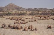 """30 km westlich von Khorixas liegt der """"versteinerte Wald"""". Auf einem Areal von etwa 300 x 800 m liegen 50 bis 60 grosse, fossile Baumstämme, die zwischen 240 und 300 Millionen Jahre alt sind. 1950, wurde das Areal zum Nationalen Denkmal in Namibia erklärt"""