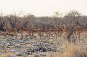 Plötzlich wurde die Löwin vom vordersten Impala entdeckt. Es schnaubte warnend und alle Tiere erstarrten sogleich und blieben regungslos stehen. Einige Augenblicke später stob die Herde davon. Vielleicht war die - gut genährte - Löwin nicht sehr hungrig..