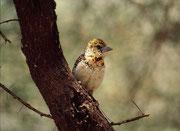 Schwarzrücken-Bartvogel (Trachyphonus vaillantii) Weibchen. Das Männchen ist ein richtiger Prachtsvogel mit einer kecken Haube. (Lake Manyara NP).