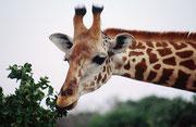 Mit ihrer langen, fast schlangenartigen Zunge pflückt die Massai-Giraffe (Giraffa camelopardis tippelskirchi) auch in den dornigsten Bäumen die feinsten Blättchen (Tsavo East)