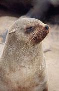 Charakteristisch für den Südafrikanischen Seebären ist der breite Kopf mit der zugespitzten Schnauze. Eine andere Unterart (Arctocephalus pusillus doriferus) lebt in Australien (!) (s. die entsprechende Galerie).