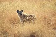 Eine Tüpfelhyäne (Crocuta crocuta) kehrt am Morgen zurück von ihren nächtlichen Streifzügen (Serengeti NP)