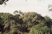 Wegen der beachtlichen Meereshöhe des Kraterrandes und der enormen Regenmenge (800 bis 1200 mm Regen pro Jahr), sahen Teile der Vegetation auf dem Kraterrand aus, wie feuchter Regenwald. (Ngorongoro NP).