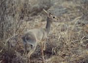 Dik-Dik, die kleinste Antilope Afrikas. Die genaue Art konnte ich noch nicht bestimmen. (Samburu)