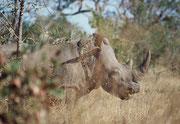 Im Süden des Krüger NPs  sahen wir zuerst nur die auffallenden, Dunghaufen an den Strassenrändern, aber dann auch die Tiere dazu: Dieses weibliche Breitmaulnashorn war von einem Kalb begleitet, das sich jedoch stets dicht hinter seiner Mutter versteckte.