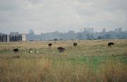 Ein bezeichnendes Bild für den Nairobi National Park: Im Vordergrund Strausse und Gnus, im Hintergrund Hochhäuser und Bauruinen von Nairobi. In den letzten Jahren ist der National Park zunehmend vom umliegenden Gebiet abgeschnitten worden.