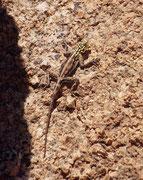 Dies ist eine Siedleragame (Agama agama). Die Tiere können ihre Farbe wechseln, je nach Tageszeit, Alter, Geschlecht und Dominanz. Bei diesem Tier könnte es sich um ein Weibchen oder aber ein um ein jüngeres Männchen handeln. (Spitzkoppe).