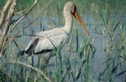 Nimmersatt (Mycteria ibis) auf der Suche nach Fischen (Lake Baringo)