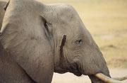 ...insbesondere, weil dieser Elefantenbulle eventuell sogar in Musth war, wie das Sekret, das aus der Schläfendrüse rinnt, zeigt (Amboseli)