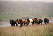 Herde frei grasender Islandpferde
