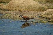 Dieser Vogel heisst in der Tat Schwarzschwanz- Uferwipper (Cinclodes atacamensis) und kommt ebenfalls in eine Höhe bis 5000 Meter vor. Hier im Bofedal de Parinacota