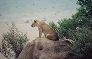 Diese Löwin war allein auf Jagdpirsch und ist in ruhigem Tempo fast eine Stunde lang einer Gruppe von Giraffen gefolgt. Sie kam ihnen allmählich näher und hat dann vermutlich im Dickicht eines Hügels zugeschlagen (wir haben entsprechenden Lärm gehört).