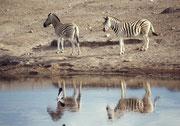 """Und dann gab es sogar Zebras, die praktisch weisse, Beine hatten. Waren dies nun nach wie vor Burchells-Zebras (Equus  quagga burchelli) oder gar Chapmans bzw. Damara Zebras (Equus quagga chapmani) oder einfach """"Steppenzebras"""" (Equus quagga) ?"""