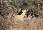 Hie und da lohnt sich ein Ausflug vor Sonnenaufgang: Wir beobachteten eine Herde Impalas bis wir merkten, dass auf der anderen Seite der Strasse auch eine Löwin (Panthera leo) dieselben Impalas gebannt fixierte. Sie brach dann aber ihr Unternehmen ab.