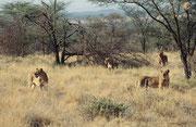 Zusammen mit den Jungtieren, zählten wir 8 Löwen in diesem Rudel (Samburu)