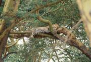 Auf diesen Leopard (in der Nähe eines Zeltplatzes…) wurden wir durch den Lärm einer Paviangruppe aufmerksam, die ihn zu vertreiben suchte. Vielleicht hatte er sogar vorher einen ihrer Sippe gefressen. (man beachte seinen runden Bauch).