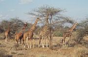 Wunderschöne Netzgiraffen (Giraffa camelopardis reticulata) (Samburu)