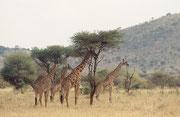 Die Massai Giraffen (Giraffa camelopardis tippelskirchi) bleiben das ganze Jahr über in der Serengeti. Als Blattfresser brauchen sie nicht, wie die Grasfresser Gnu und Zebra weite Wanderungen zu unternehmen, um die erforderliche Nahrung zu finden.