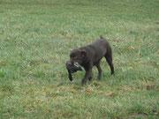 Silvester zu Besuch in Lützerath. Erste Übungen mit Wild. Fennek Apport..........hier