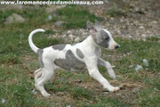 whippet au galop