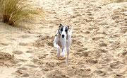 le whippet à la plage